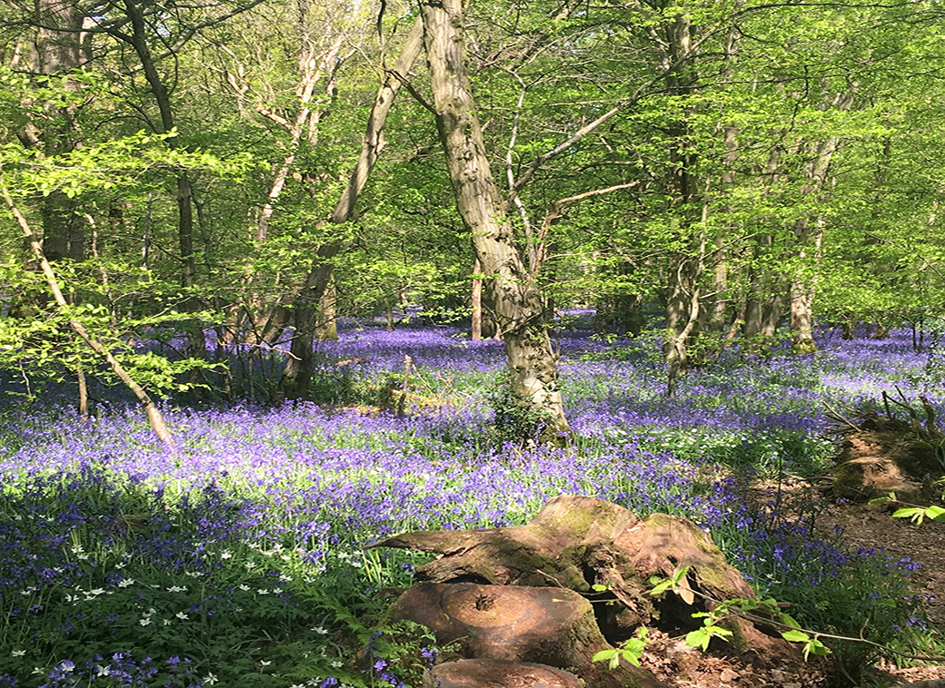 Bluebells on the Sussex Downs, UK, with Seen by Solomon travel blog
