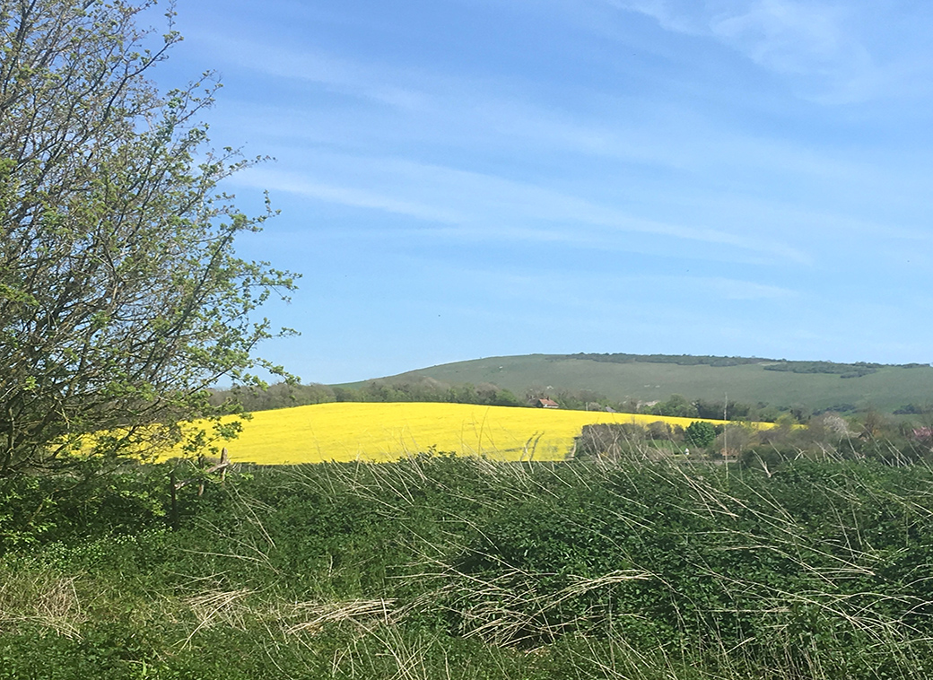 Fields of gold, Rapeseed, on the Sussex Downs, UK, with Seen by Solomon travel blog