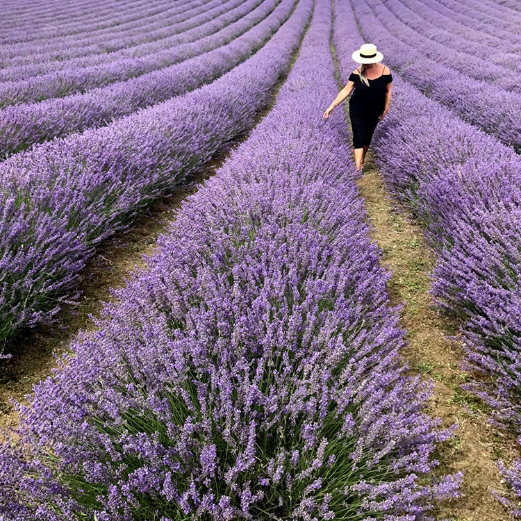 Dreamy day at Lordington Lavender