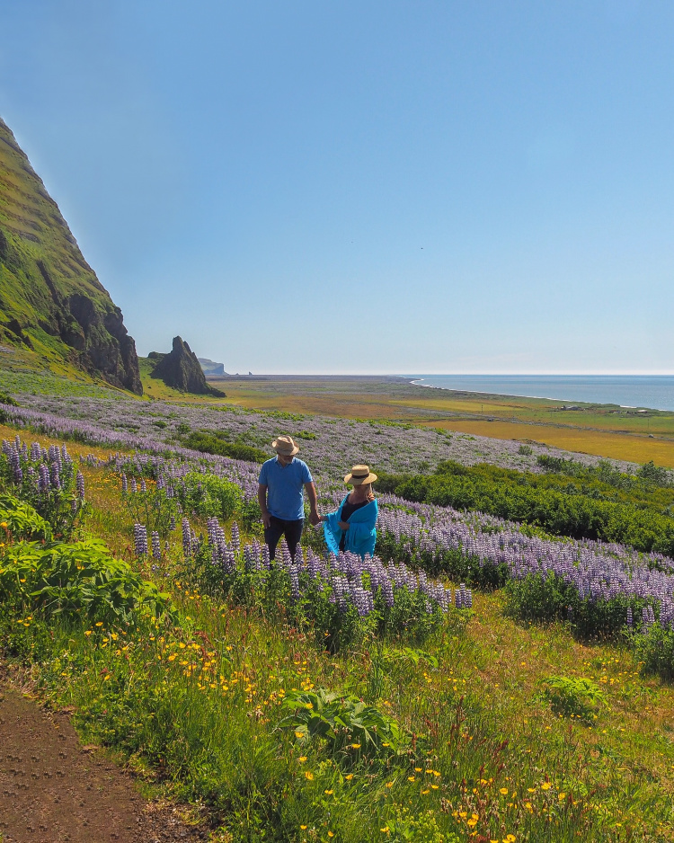 Iceland lupins with David and Angela Solomon travel blog Seen by Solomon