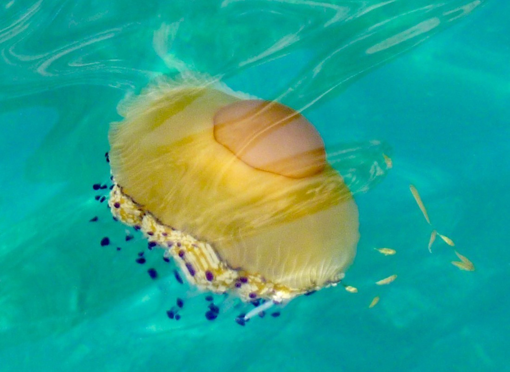 Taormina Sicily an egg yolk jellyfish with Seen by Solomon travel blog . spotted 5