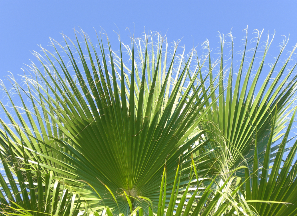 fan palm trees in the gardens of Hotel Su, Antalya Turkey with Seen by Solomon travel blog